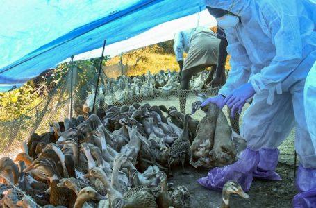 Avian Influenza: Another Virus Makes an Entry