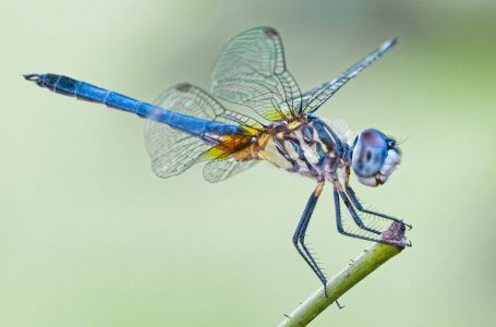 Dragonflies move north due to climate change